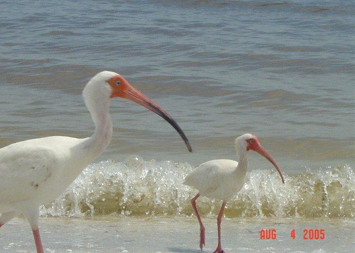On World Famous Shelling Beach; Loggerhead Cay Condo #18