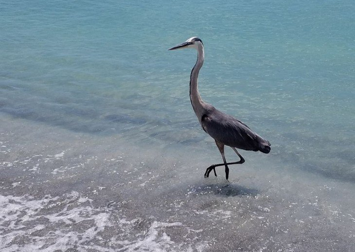 You'll enjoy a wide variety of birds along the beach - Blue Herons are common