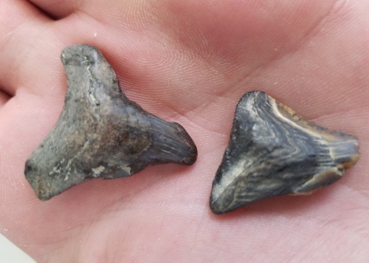 Fossilized shark teeth found on the beach when walking to the south