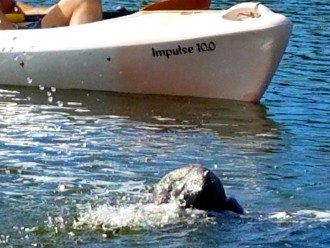 If you are kayaking in the bay, don't be surprised if a manatee surfaces by you