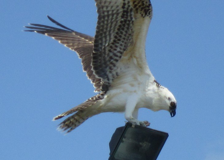 OSPREY HAVING LUNCH ON OUR FLOODLIGHT