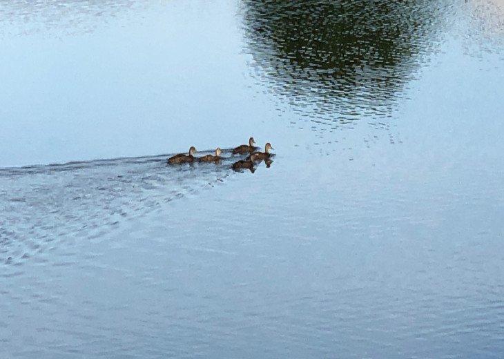 good morning Ducks! having their daily swin