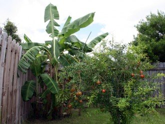 Banana and pomegranate trees in back yard
