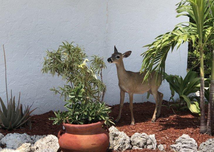 Visitor for lunch KEY DEER