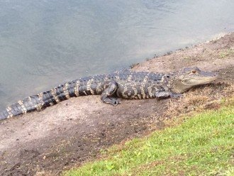 Alligator seen on side on lake - occasional visitors