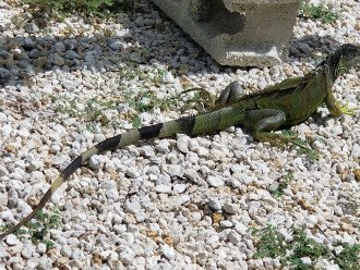 Meet our neighbor Iguana.