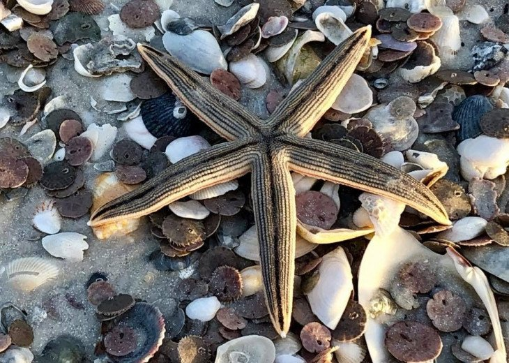 Best Shelling in Marco is just North of Tiger Tail Beach!