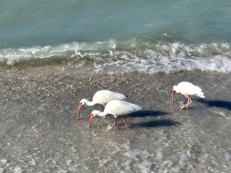 Get a glimpse of the White Ibis on Tigertail Beach!