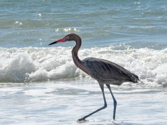 Nature lovers paradise.. A Red Egret on Beach!