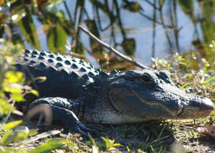 Tour Everglades National Park to See Alligators and Wading Birds