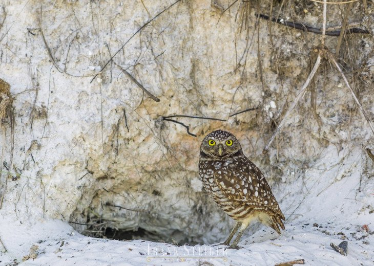 See Marco island's Burrowing Owls