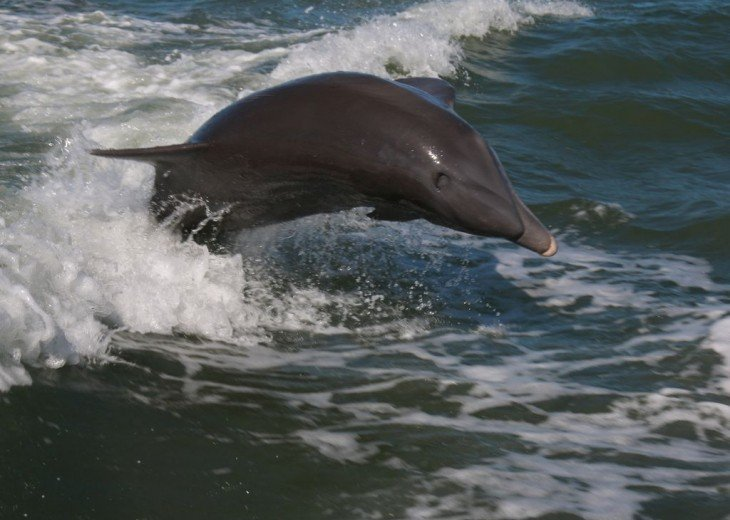 Meet Marco Island's Most Famous Residents - Our Dolphins - They All Have Names!
