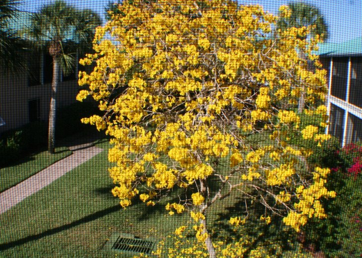 This tree blooms right outside your Lanai (typically in the Springtime)