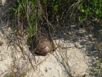 turtle in dunes under terrasse_229