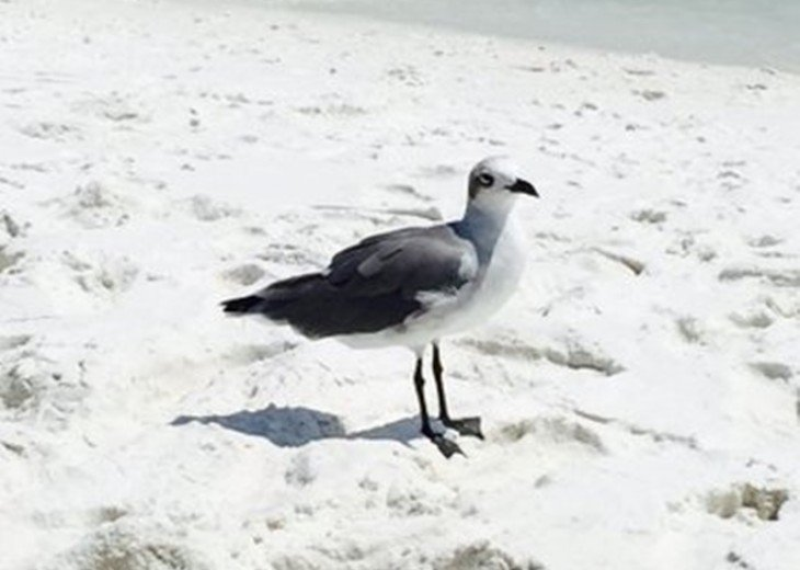 Sea Gull at Miramar Beach