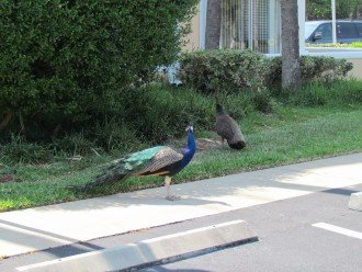 Peacocks Are Frequent Visitors!