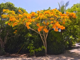 Rare Golder Poinciana on property