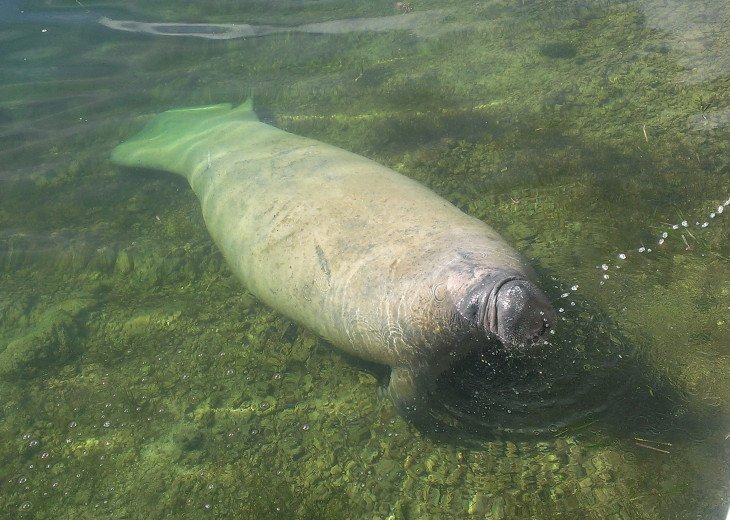 Manatees swim and play right up to our backyard dock