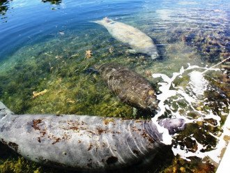 Daily visits from the manatees right in your backyard canal!