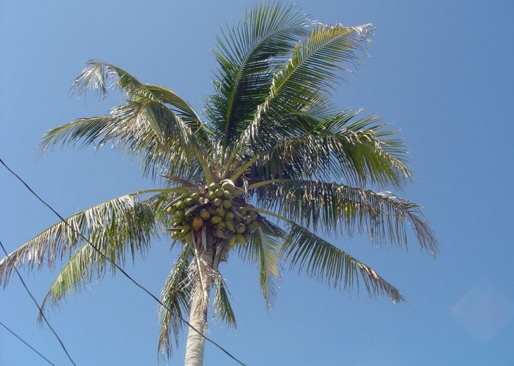 Coconut Palm Tree on property, along with banana, orange, and fig trees