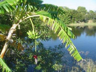 Banana tree stand on property