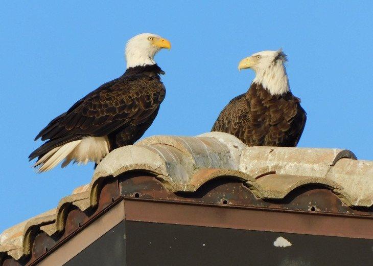 Neighborhood eagles on neiboring rooftop
