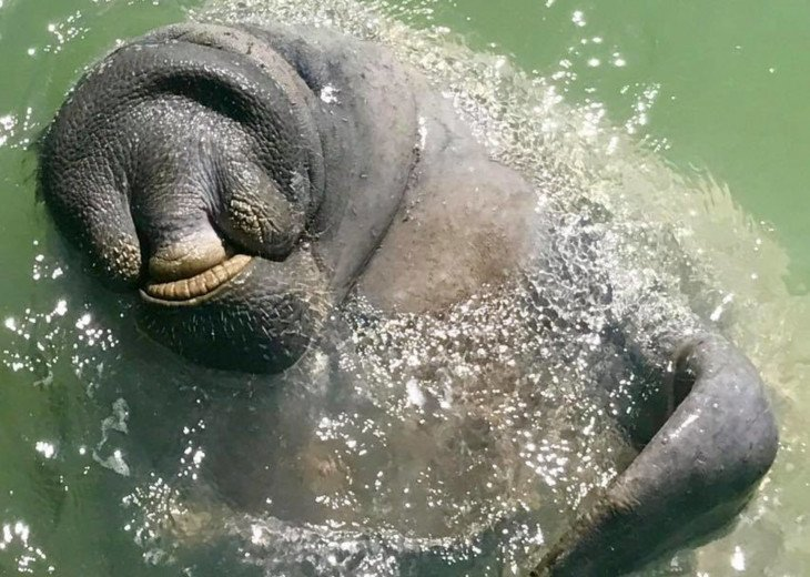 Manatees! Sweet gentle giants often visit you in the canal!