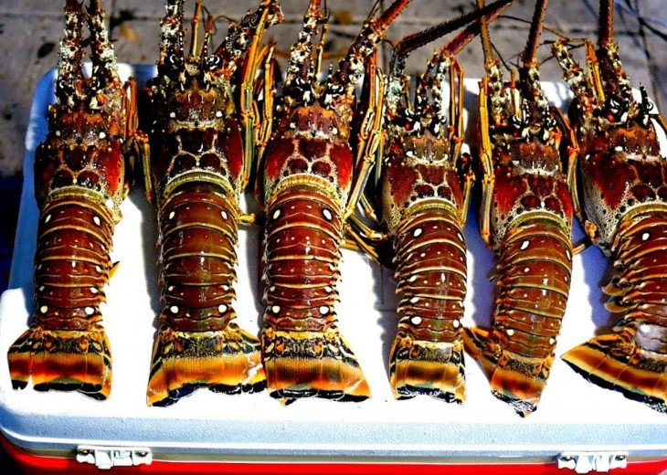 Lobster Season: Mini-Last Wed & Thurs of July, Regular-Aug 6-March 31