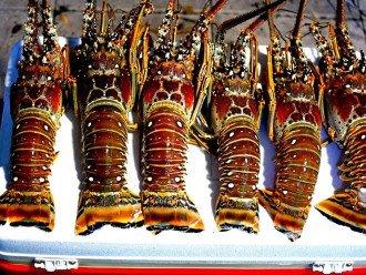 Lobster Season: Mini-Last Wed & Thurs of July, Regular-Aug 6-March 31