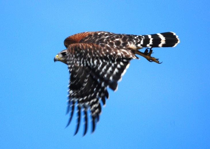 Locally photographed Sharp-shinned Hawk