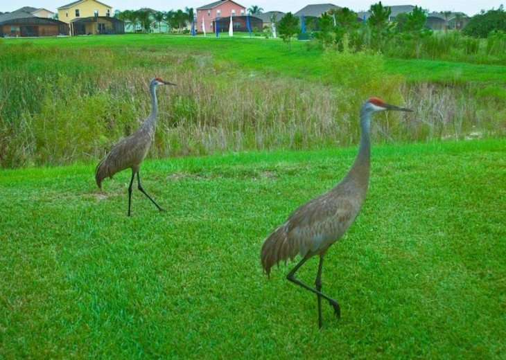 Sandhill Cranes in neighborhood