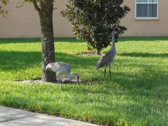Sandhill Cranes in yard