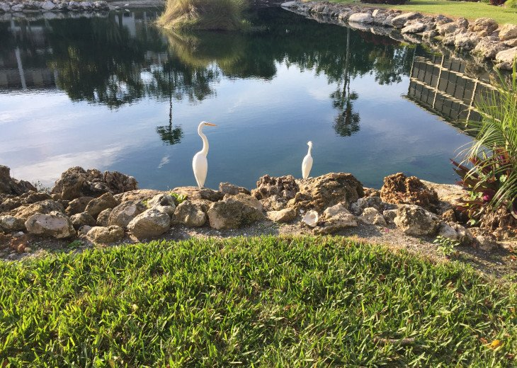 Egrets enjoying our lagoon!
