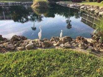 Egrets enjoying our lagoon!