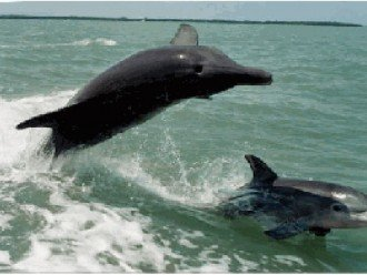 ENJOY PLAYING WILD DOLPHINS IN GULF OF MEXICO