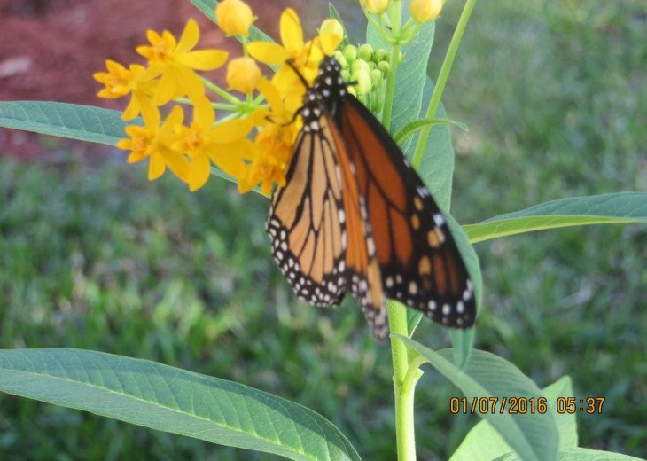 Monarch Butterfly - Naples Vacation Rental