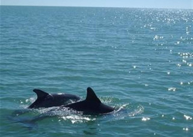 Dolphins swimming in the Gulf of Mexico - Naples Vacation Rental