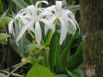 Ghost Orchid native to Southwest Florida - Naples Vacation Rental